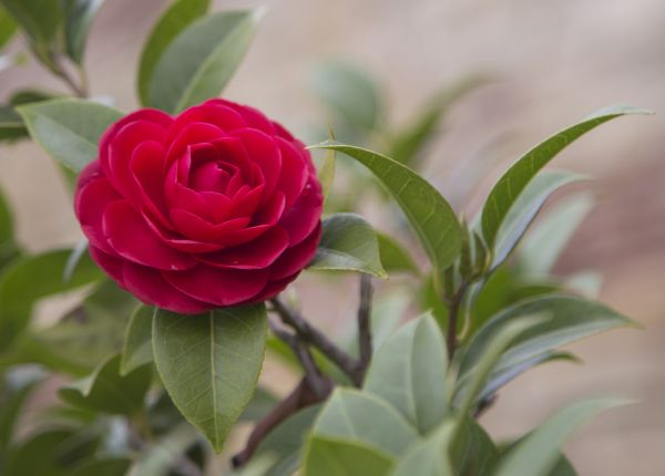 Caring for Camellias in WA