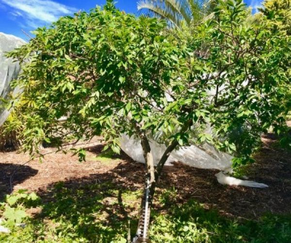 Summer Pruning - Deciduous Fruit Trees
