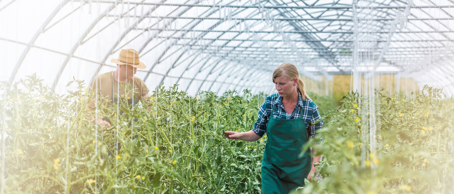 Two Farmers In A Commercial Greenhouse