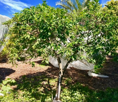 Deciduous Fruit Trees Ready For Pruning