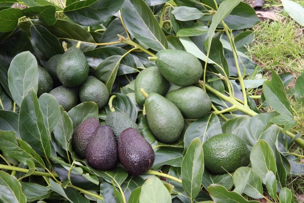 Assorted Coloured Avocados And Leaves On Grass