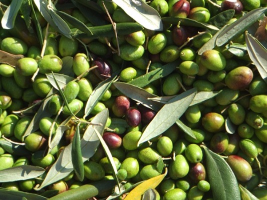 Freshly Picked Green And Purple Olives